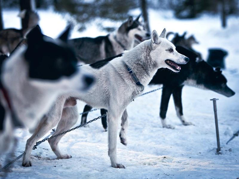 Schlittenhunde Pillerseetal