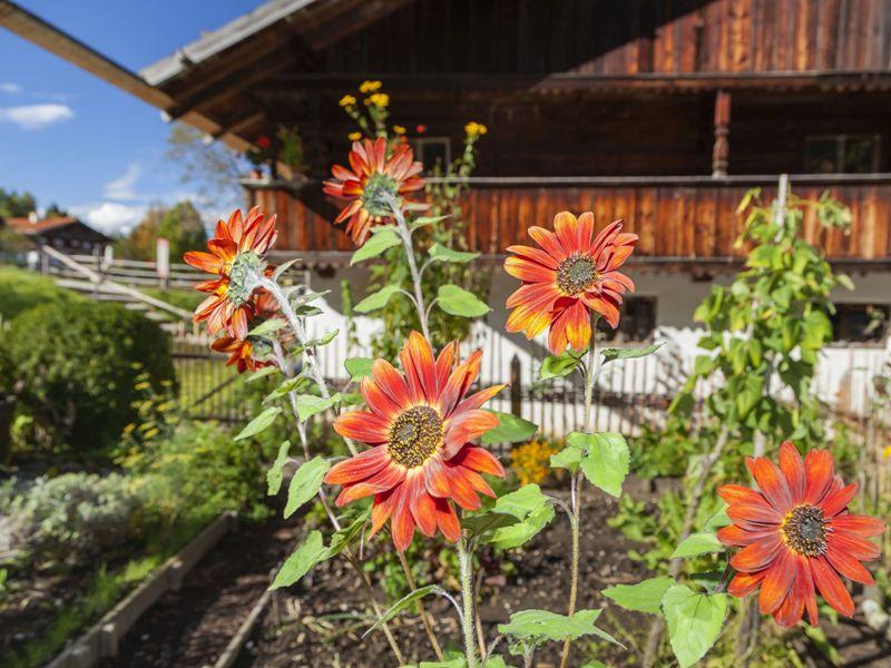 Tölzer Land Sonnenblumen Freilichtmuseum Glentleiten
