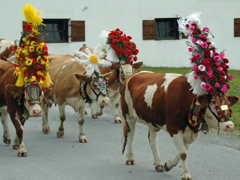 Kühe Almabtrieb