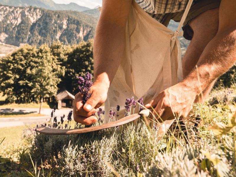 Lavendelernte mit Handsense
