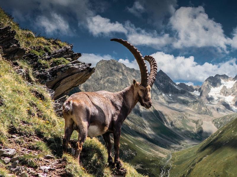 Steinbock im Pitztal Hochgebirge