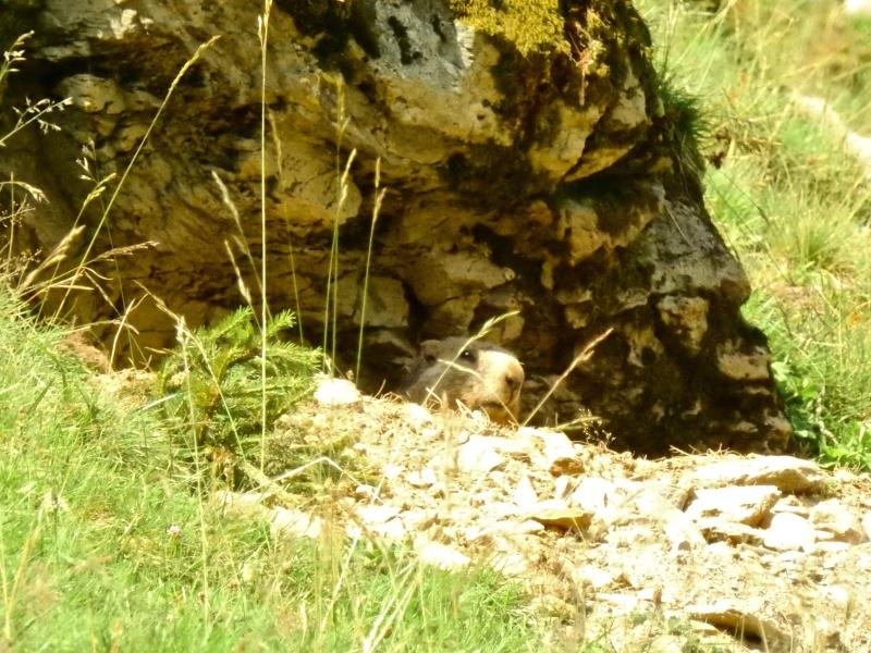 Murmeltier in seiner Höhle