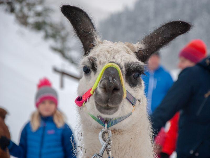 Lama in Protraitaufnahme