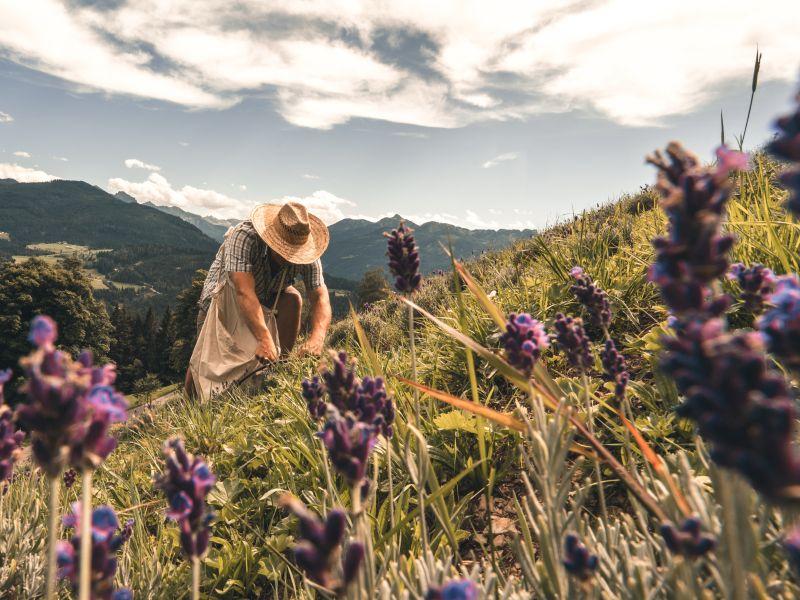 Lavendelbauer Feldarbeit